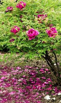 여름 정원에서 자라는 아름다운 부드러운 분홍색 모란 꽃이 있는 꽃무늬 벽지. 산 나무 모란을 닫습니다.