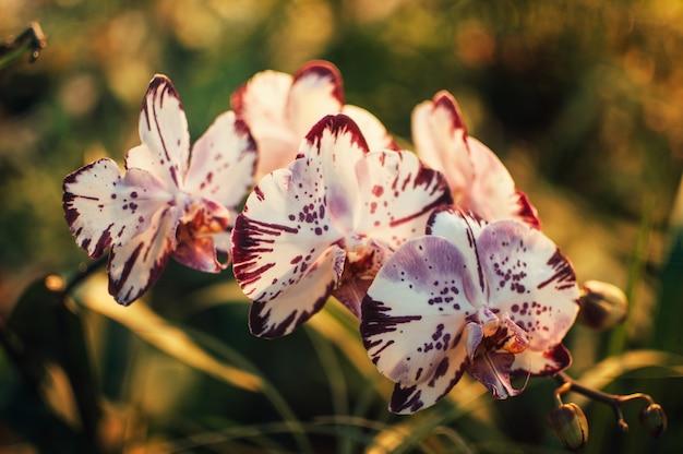 春には、花の白と紫の胡蝶蘭の花が温室に咲きます。緑の蘭の葉。ガーデニングの概念。