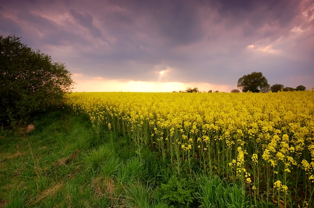 Поле желтых flores на закате