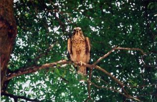 Florida chicken hawk