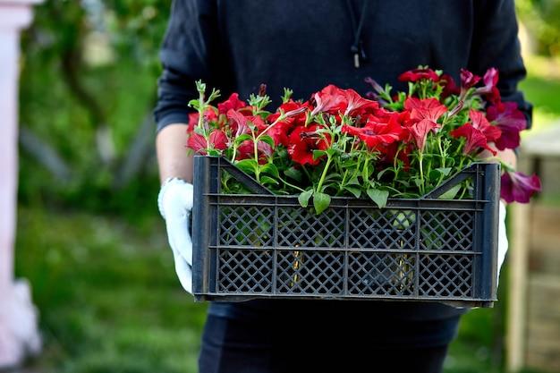 花屋はペチュニアの花でいっぱいの箱を保持します。庭師は店で木枠に花を運んでいます。