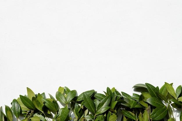 Минималистичное искусство флористики. зеленые листья барвинка на белом фоне.