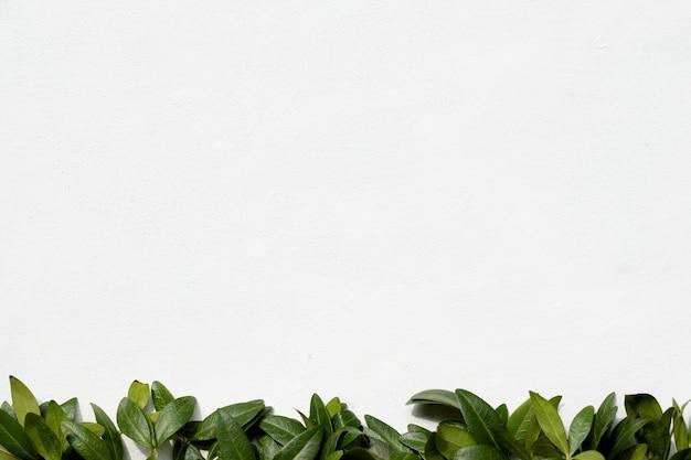 Минималистичный декор флористики. зеленые листья барвинка на белом фоне. природа и растения. концепция copyspace