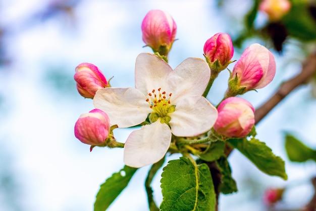 水色の空に花とつぼみのリンゴのクローズアップ