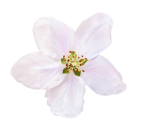 Цветок яблони, изолированные на белой поверхности
