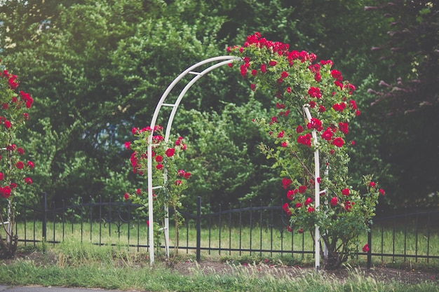 Flower arch with blooming red climbing roses garden design concept