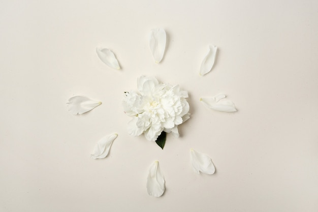 Flower arrangement. white peony flower and petals on white, top view