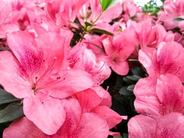 春に咲くツツジの花。花は日本のピンクのツツジ。