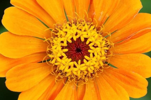 꽃 배경, 아름답고 밝은 백일초 꽃
