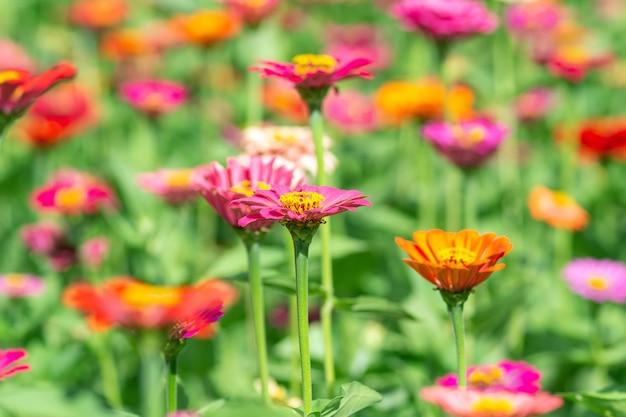 花の背景、zinniaperuvianaの多くの美しく明るい色