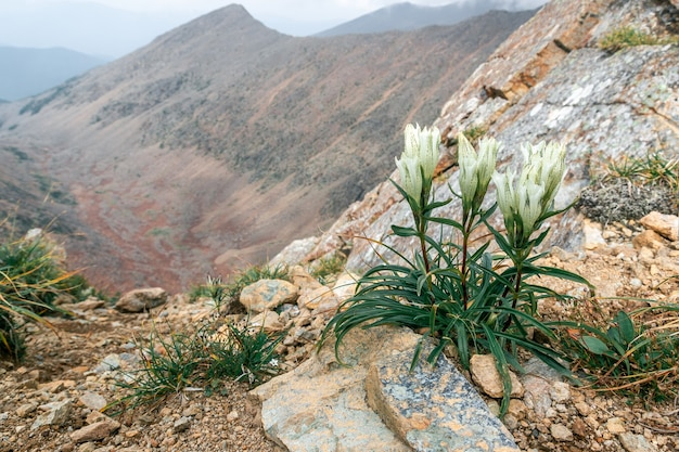 Flower on the background of a mountain valley