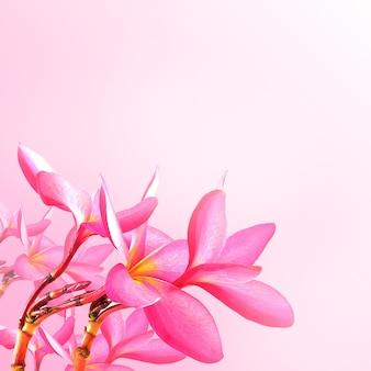 Flower background. pink plumeria flowers