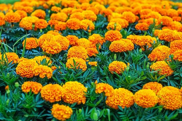 明るく、香り高く、美しく、オレンジ色で、豊かに咲くマリーゴールドの花壇