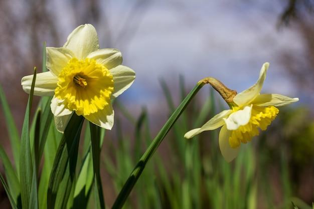 Клумба из цветов нарцисса крупным планом в солнечный весенний день
