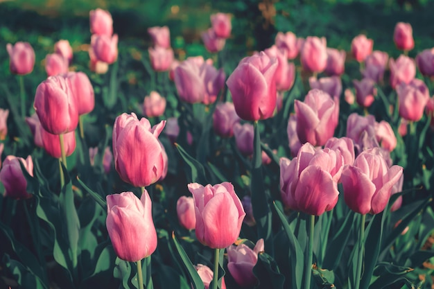 Flower bed pink tulips with sunlight