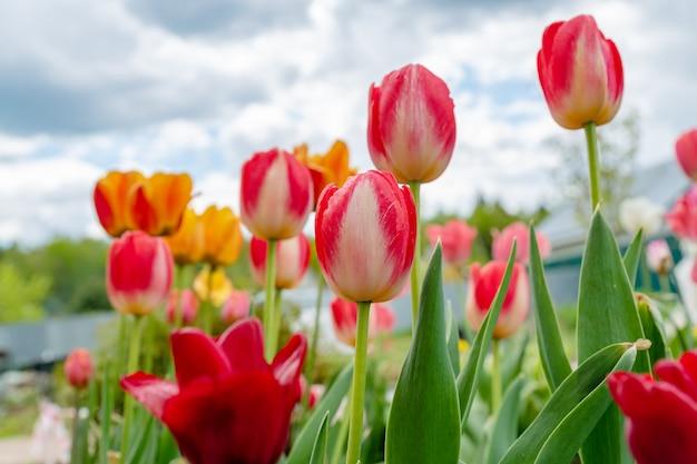 Клумба с цветущими тюльпанами в солнечный весенний день