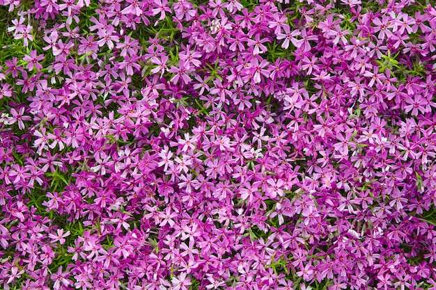 A flower bed with bright pink subulate phloxes