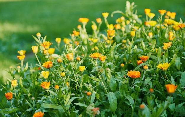 Клумба с цветами календулы в солнечный день