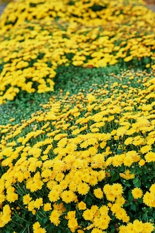 Flower bed of yellow chrysanthemums
