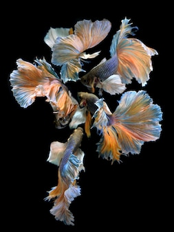 The flower of betta's tail fins mixed