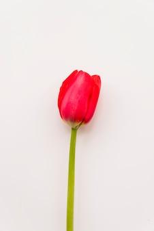 Flower of bright scarlet tulip