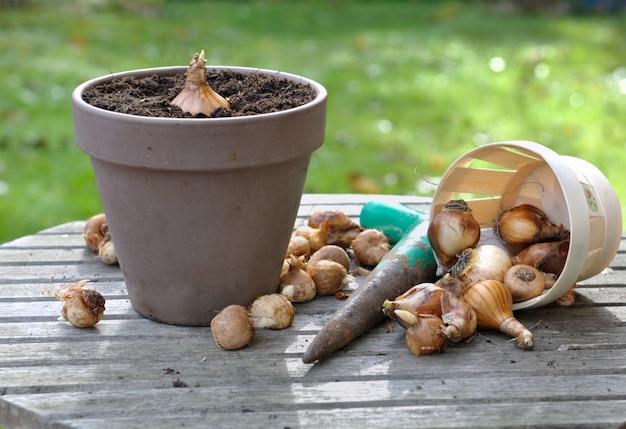 Flower bulbs in garden
