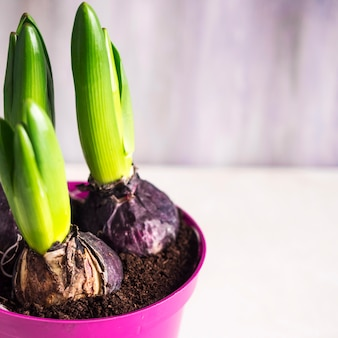 Flower bulbs growing in little pot on board