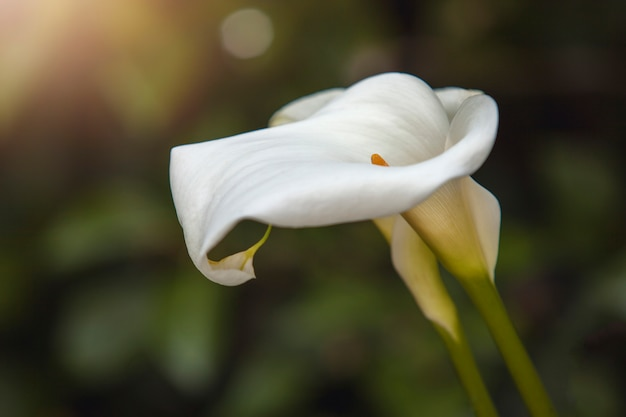 Flower calla lily. gannet flower close-up