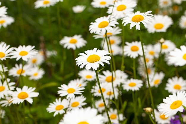 The flower of a camomile in the field