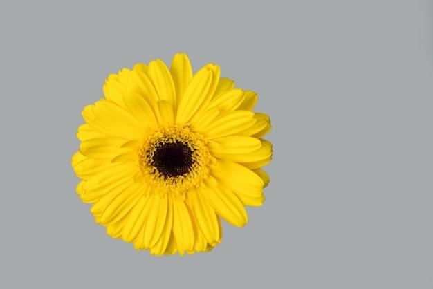 Цветок цербера. цветовой тренд 2021. садовый цветок.