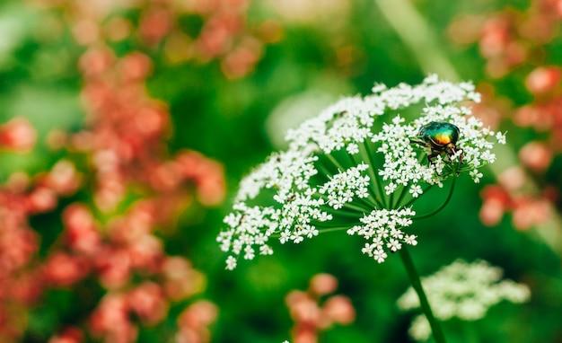 Цветок майский зеленый блестящий жук (cetonia aurata) сидит на белом цветке летом