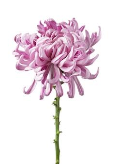 Цветок хризантемы grandiflorum «вена розовая», изолированные на белом