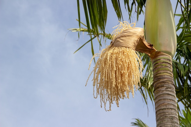 Flower of the coconut tree stuck in a coconut tree with a blue