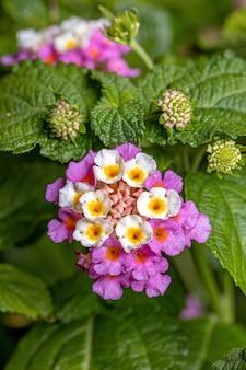 Flower of common lantana of the species lantana camara with selective focus