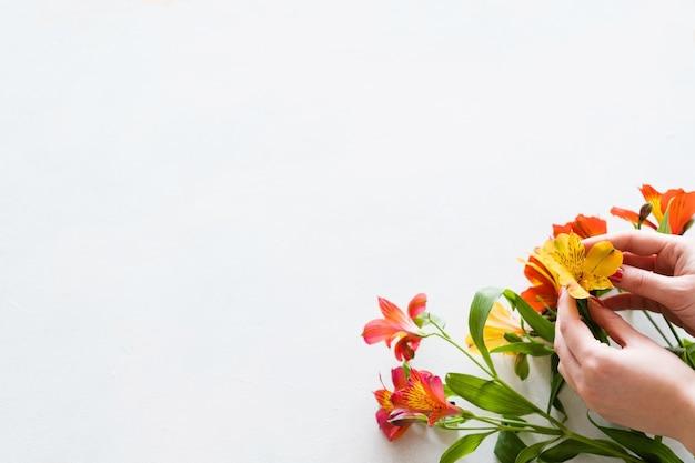 꽃 조성. 흰색 바탕에 화려한 alstroemeria 꽃다발을 만드는 꽃집.