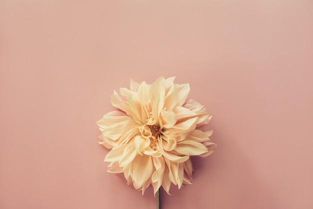 ピンクの背景にフラワーダリアカフェオレ。最小限の花の組成。フラットレイ、上面図、コピースペース。夏、秋のコンセプト。