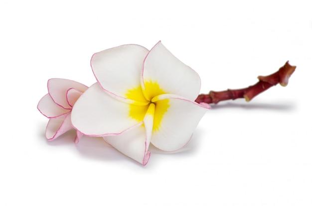花フランジパニ、花びら
