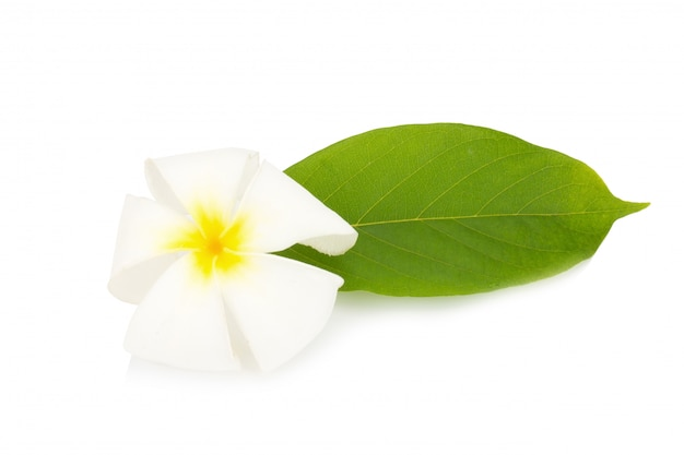 Flower frangipani. plumeria. isolated on white background