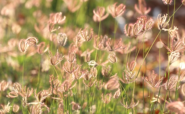 Flower grass is blooming and golden sunshine in the evening