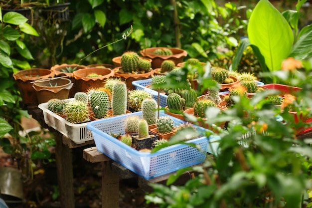 Цветочная теплица. много разных кактусов в горшках среди растений