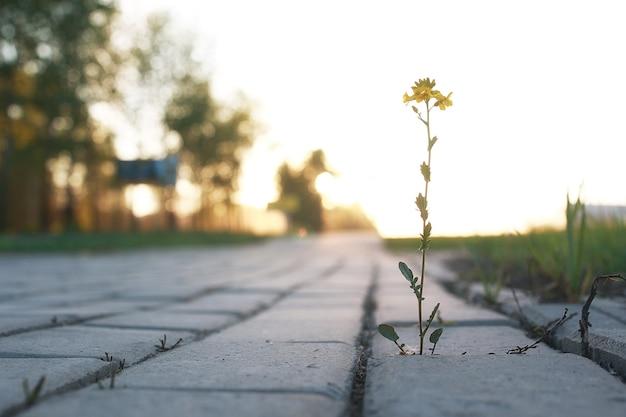 日没時に灰色の敷石を通して成長する花