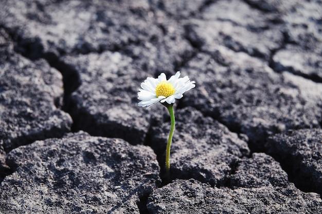 Цветок вырос в засушливой потрескавшейся бесплодной почве
