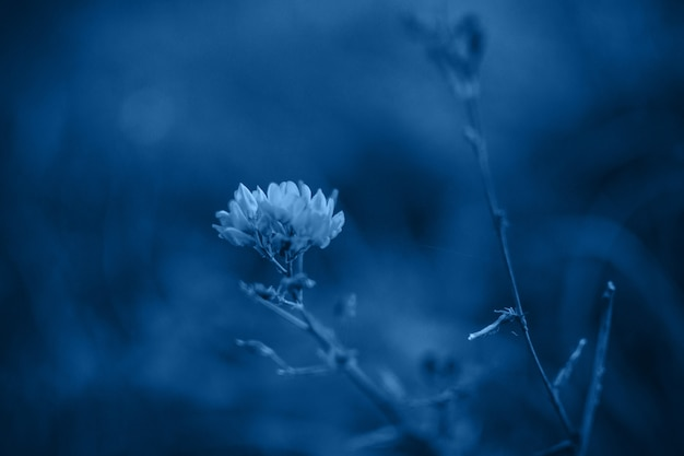 Flower head close-up in a field in a trendy classic blue color. copy space.