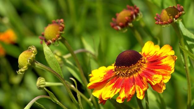 花(ヘレニウム)、夏の花
