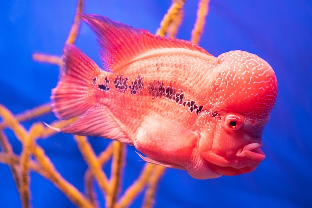 Flower horn fish against the background of corals in the aquarium