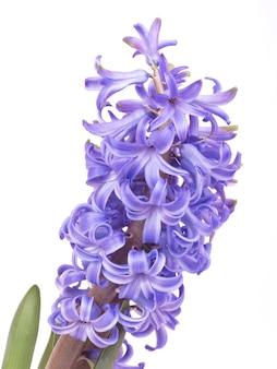 Цветочный гиацинт