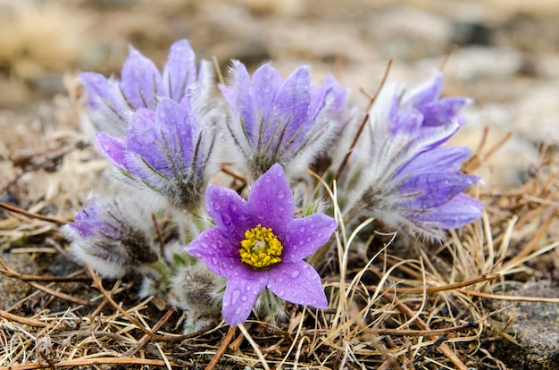 Flower is also called urgulka. it grows wild and its flowering is one of the first signs of spring. russia, siberia