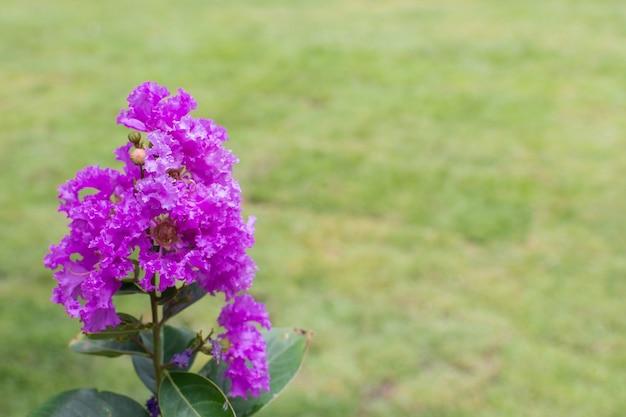 Flower (lagerstroemia, crape myrtle, crepe myrtle, muang saa-ree) purple
