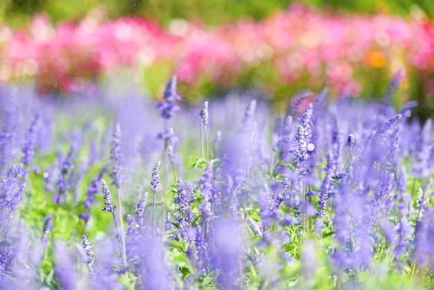 花のラベンダー畑、春の庭に咲く青いサルビアの花-salvia farinacea