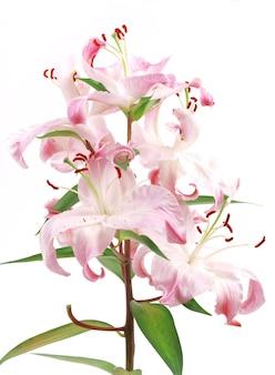 Цветочная лилия
